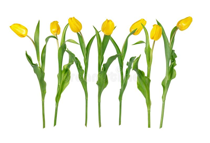 Seven beautiful vivid yellow tulip flowers on long stems with green leaves isolated on white background. stock images