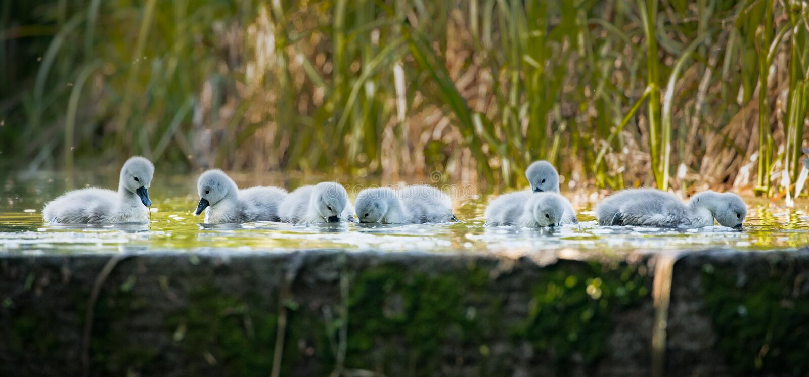 Seven cygnets swimming and eating at the edge of the old lock. With reeds behind royalty free stock photos