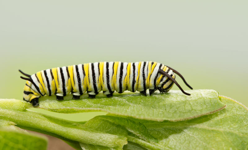Seven days old Monarch caterpillar resting on a milkweed leaf. A side view stock photo