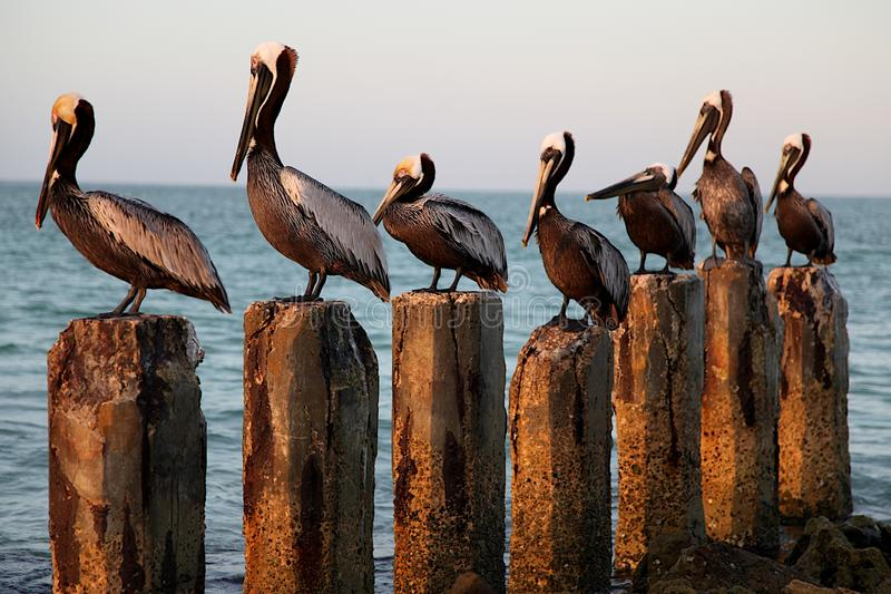 Seven Pelicans on Seven Wood Posts stock photos