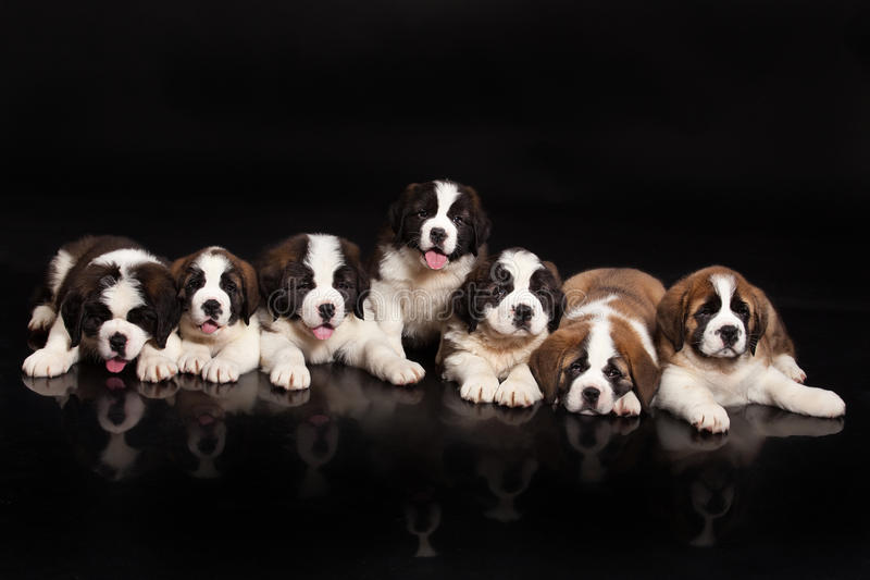 Seven Puppies royalty free stock image