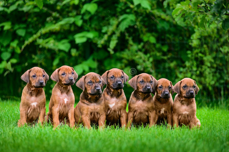 Seven Rhodesian Ridgeback puppies sitting in row on grass royalty free stock photography