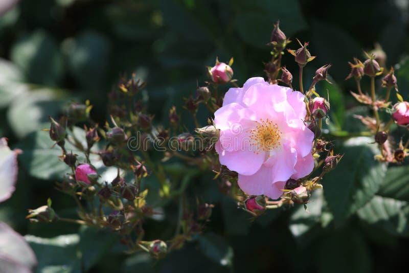 Seven Sisters(Rosa multiflora Thunb. var. carnea Thory ). Seven sisters, also known as ten sisters stock image