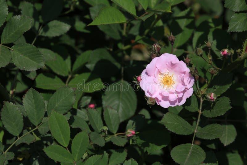 Seven Sisters(Rosa multiflora Thunb. var. carnea Thory ) stock photography