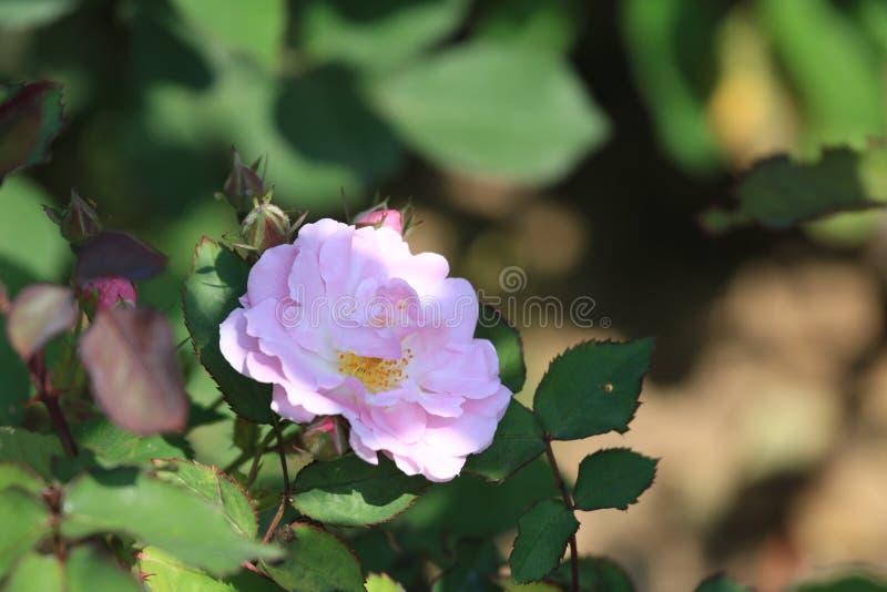 Seven Sisters(Rosa multiflora Thunb. var. carnea Thory ). Seven sisters, also known as ten sisters, are a variety of Rosaceae Rosa stock image