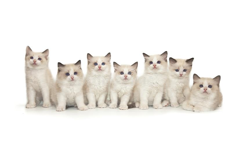 Seven small cute white ragdoll kitten with blue eyes on a white background. royalty free stock photography