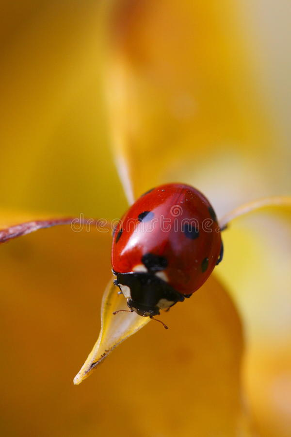 Free Seven-spot Ladybird Stock Images - 12570624