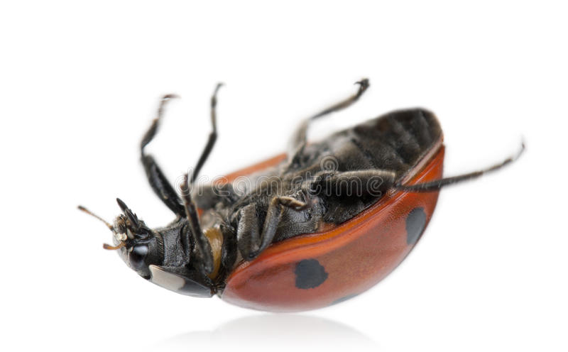 Download Seven-spot Ladybird Or Ladybug Stock Image - Image: 16563491