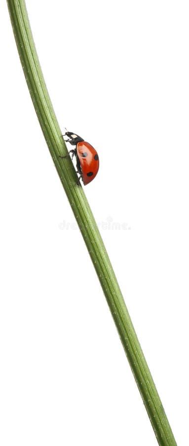 Free Seven-spot Ladybird Or Seven-spot Ladybug Stock Photos - 21403443
