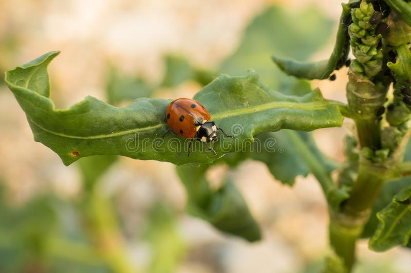 Seven-spot ladybird on a broad green leaf royalty free stock photos