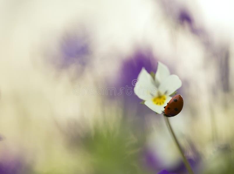 Seven spot ladybug, Coccinella septempunctata on heartsease stock photos