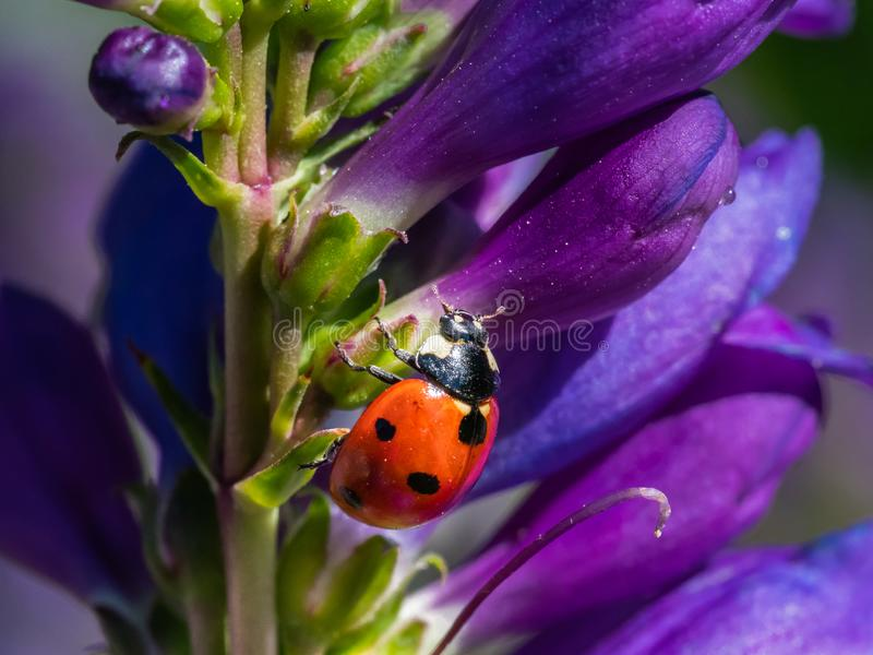 Seven-Spotted Ladybug. Climbing On Purple Dusty Penstemon Flower, Sandia Crest Mountains, New Mexico royalty free stock image