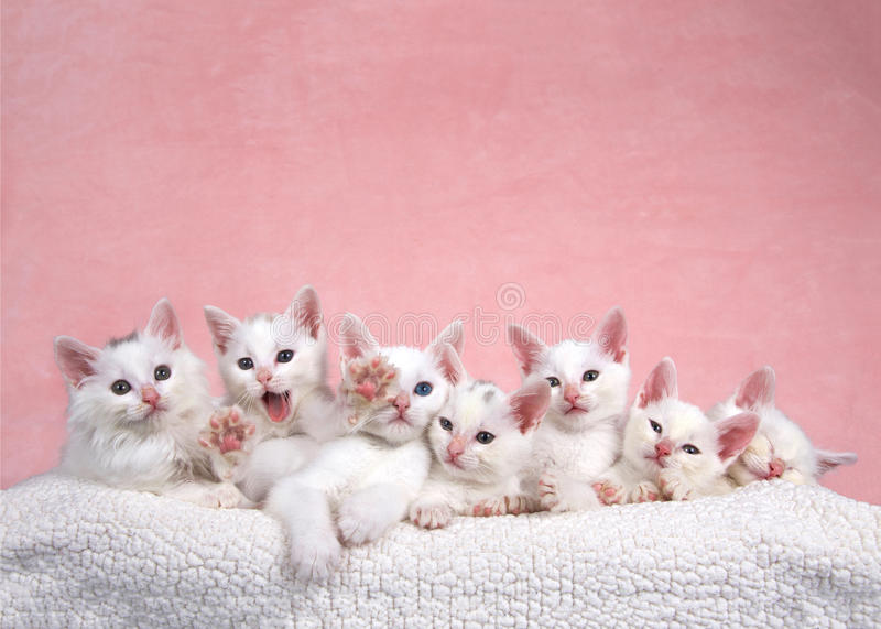 Seven white kittens in bed, one reaching out to viewer stock photography