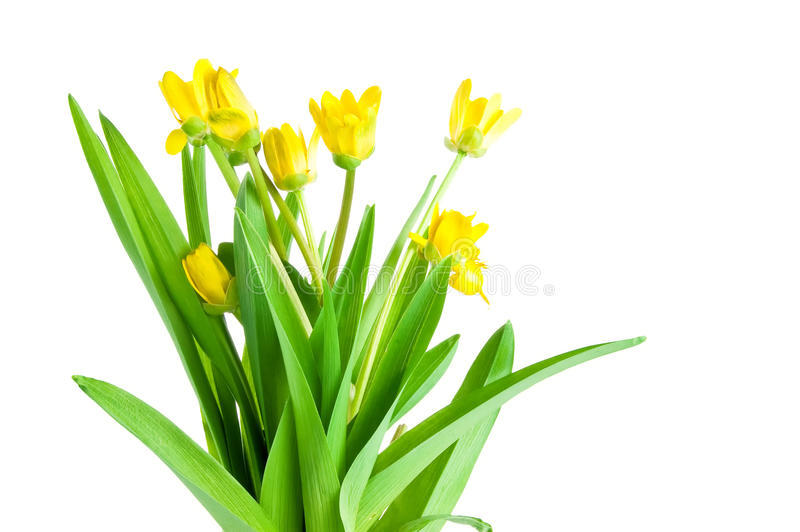 Download Seven Yellow Spring Flowers With Green Leaves Stock Photo - Image: 25010618