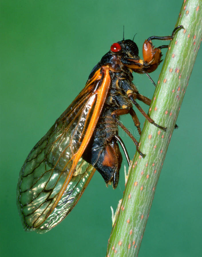 Seventeen-year Cicada Injecting Its Eggs royalty free stock photo