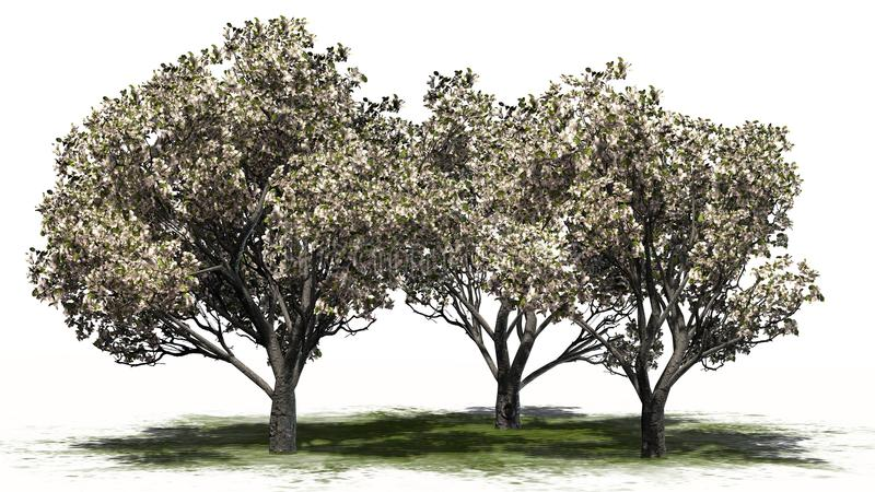 Several apple trees in the spring with blossoms - separated on white background. Apple trees in the spring with blossoms on green area and shadow education on stock illustration