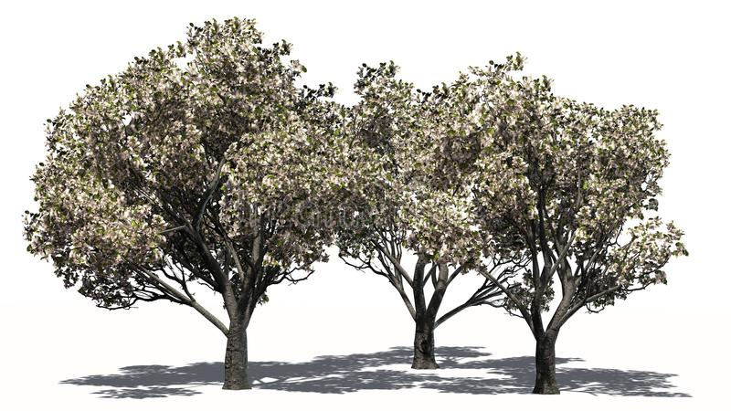 Several apple trees in the spring with blossoms - separated on white background. Apple trees in the spring with blossoms and shadow education on the floor royalty free illustration