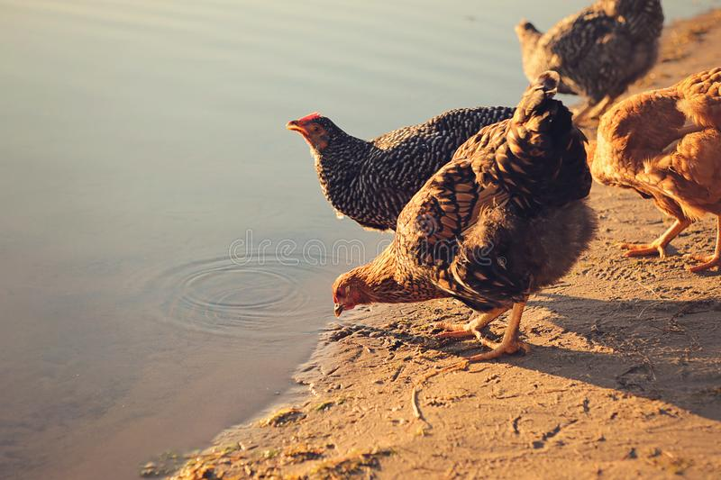Several backyard chickens drinking from a farmers pond royalty free stock photo
