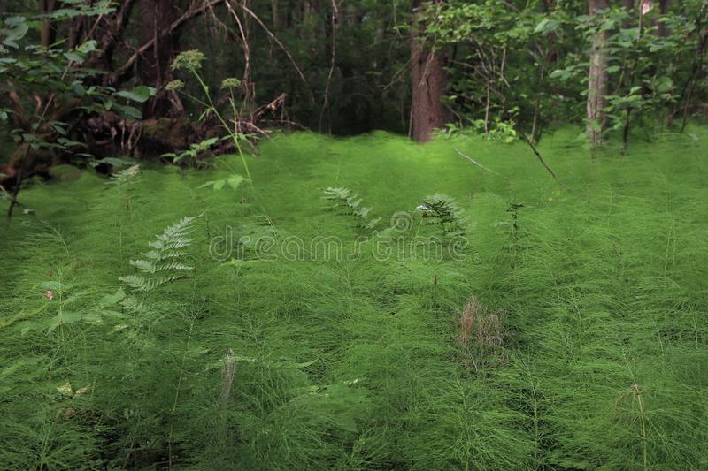 Common horsetail growing like a carpet royalty free stock image
