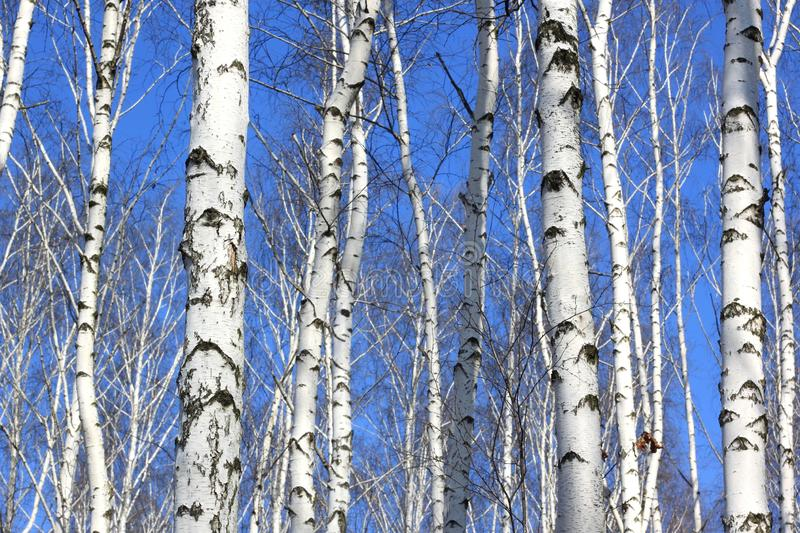 Several birches with white birch bark. In birch grove among other birches royalty free stock photos