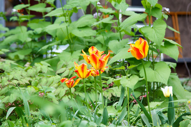 Several blooming flame striped tulips stock photos