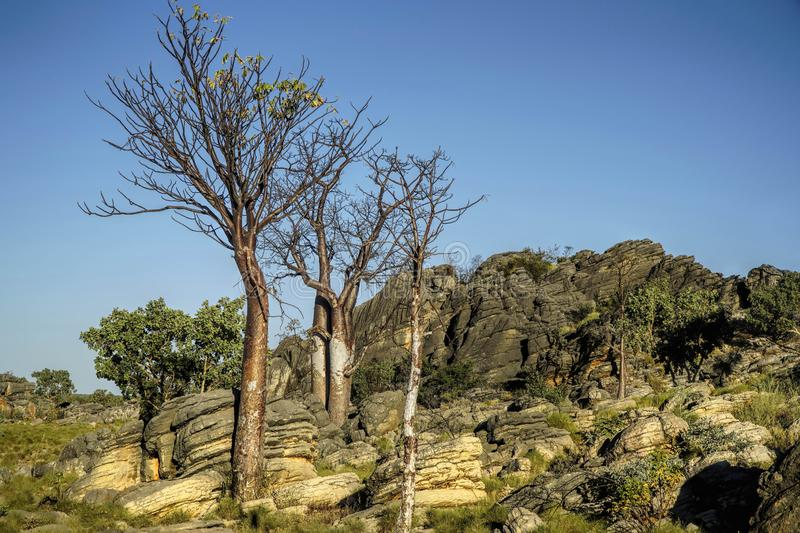 Several Boab Trees stock photography