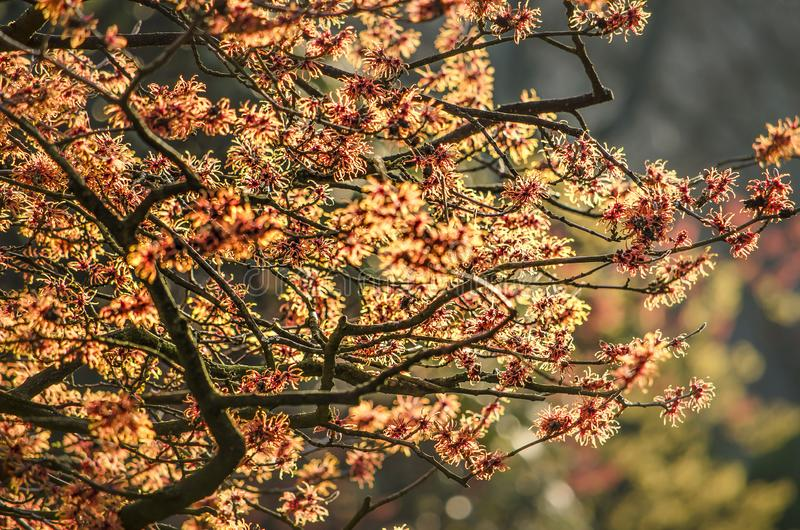 Red and yellow witch hazel royalty free stock images