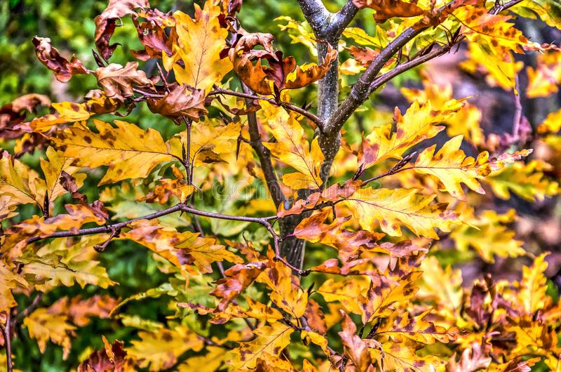 Yellow and brown oak leaves in autumn. Several branches of a small oak tree in autumn with leaves in shades of yellow and brown royalty free stock photo