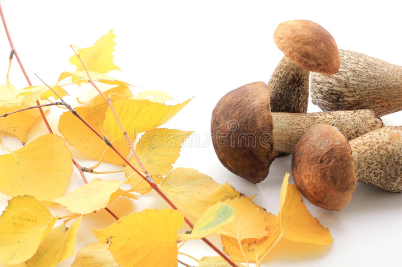 Several brown cap boletus and twig of birch stock photography