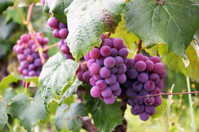 Several Bunch Of Grapes Free Public Domain Cc0 Image