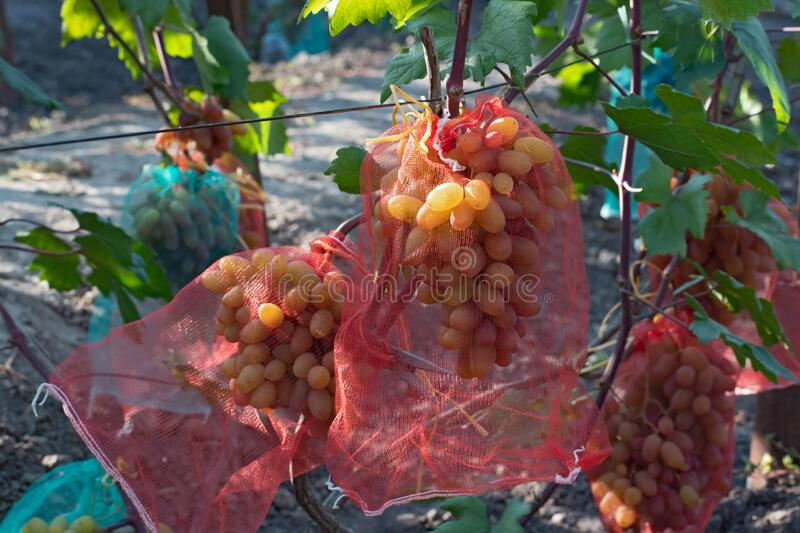 Several bunch of ripe pink grapes in a special protective mesh bags. Bags  are red stock image