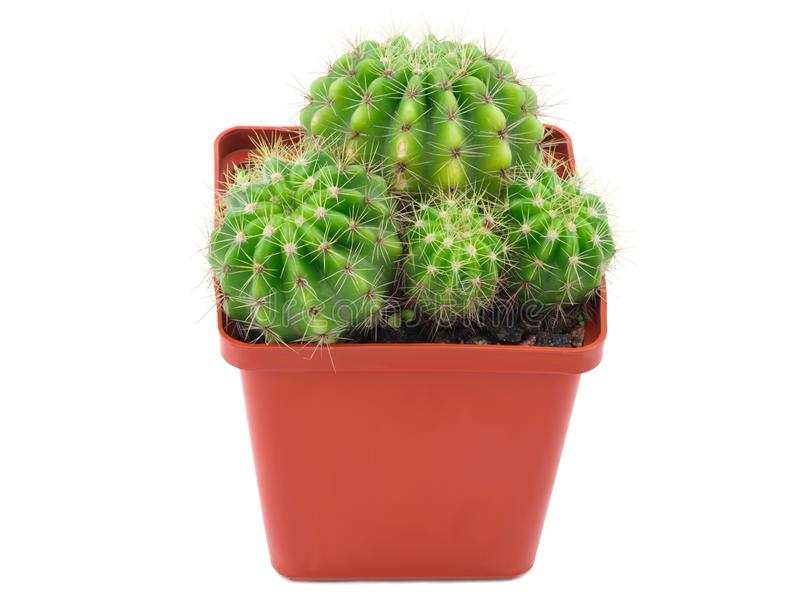 Several cacti with a appendage in pot. Isolated . Several small cacti with a little appendage grow in one small brown pot. Isolated on white background. Side royalty free stock photos