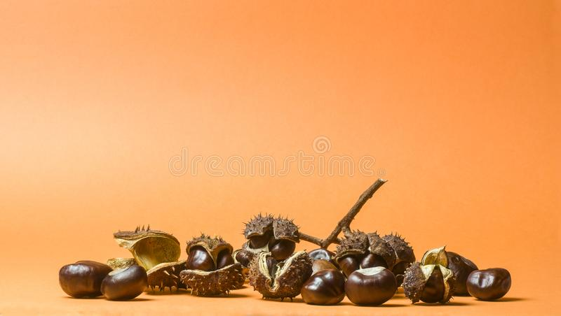 Several chestnuts in split fruit peel with thorns and separately, partly hanging on a branch piece and an empty burst fruit peel. Orange background stock image
