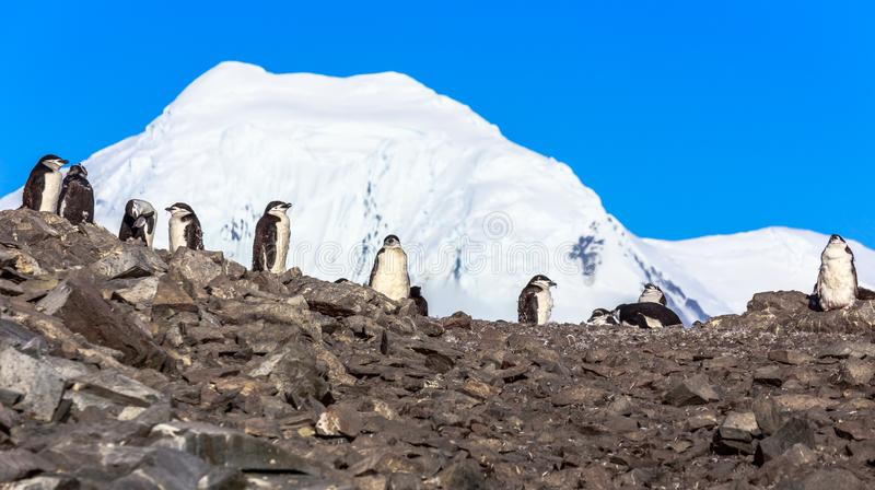 Several chinstrap penguins standing on the rocks with snow mountain in the background, Half Moon island, Antarctic peninsula. Large flock of chinstrap penguins stock photo