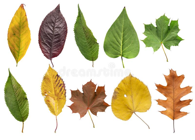 Several colored leaf isolated from golden decorative autumn leaf. Natural dry leaves royalty free stock photo