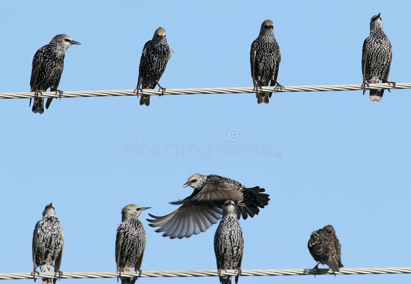 Several Common starlings on electrical wire unusual view. Common starlings on electrical wire unusual view stock images