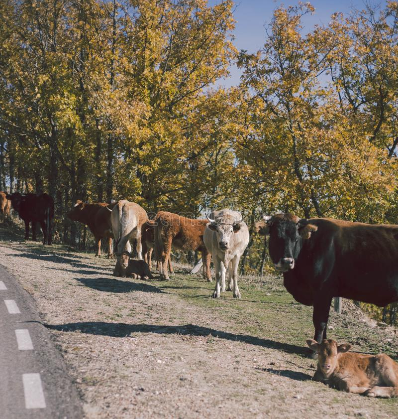 Several cows in autumnal road in the forest. Tree, leaves. Travel, explore and animals concept. Several cows in autumnal road in the forest. Tree, leaves. Travel stock photography