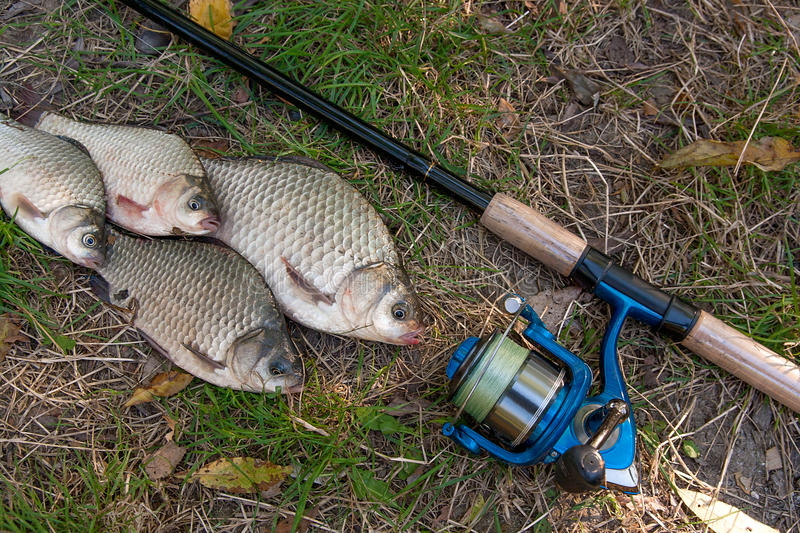 Several crucian fish or carassius on green grass. Catching fresh stock photos