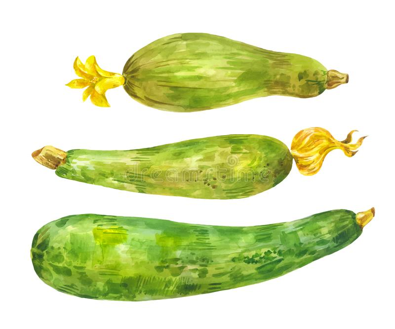 Several different zucchini. Watercolor set. Healthy food. Vegetable with yellow flower. Isolated royalty free illustration