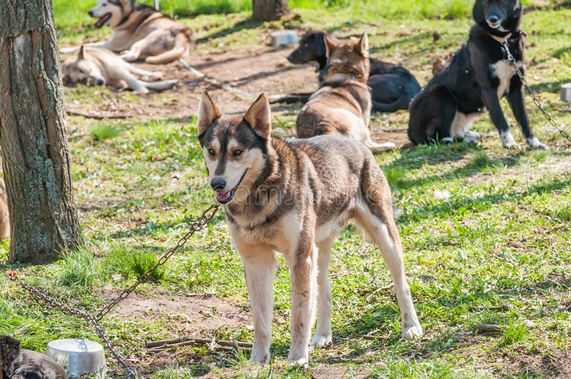 Several dogs waiting before the sleddog race. Several husky and malamute dogs waiting before sleddog racing in a green environment in the forest stock images
