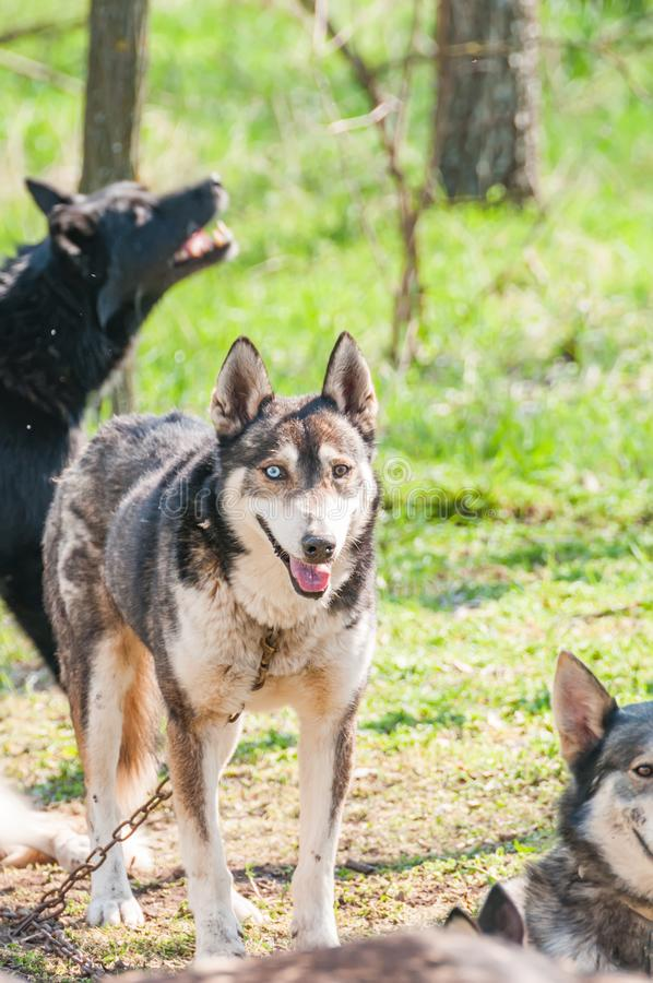 Several dogs waiting before the sleddog race. Several husky and malamute dogs waiting before sleddog racing in a green environment in the forest royalty free stock photos