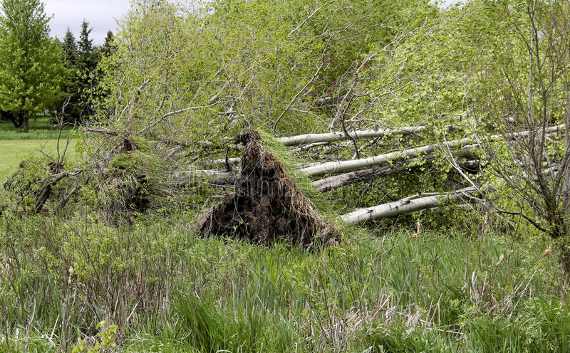 Several downed trees from wind storms. Several downed Poplar trees downed by high wind storms royalty free stock photo