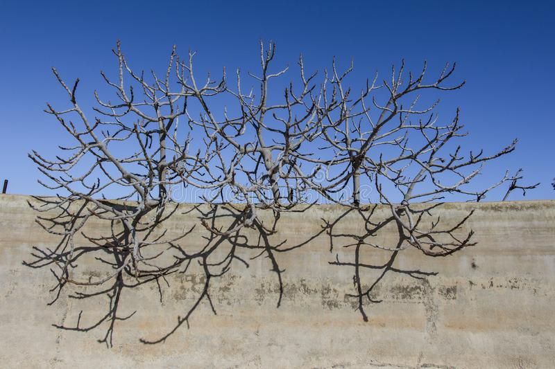 Several dry branches tree. Sky background and wall in front, several dry branches of a fig tree tower vertically in the blue sky and wall in front, dried fig stock photos