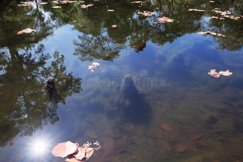 Several dry leaves are floating on the surface of the pond. Reflections of trees in the water.  stock photos