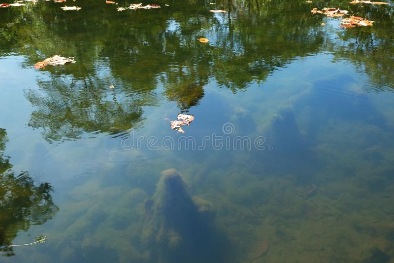 Several dry leaves are floating on the surface of the pond. Reflections of trees in the water.  stock photography