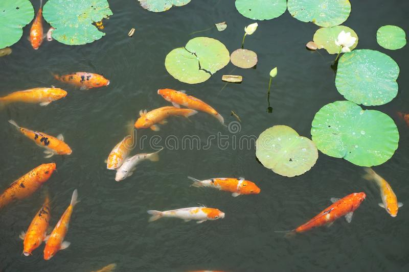 Several exotic goldfish swim among lily pads in an outdoor Koi pond royalty free stock photography