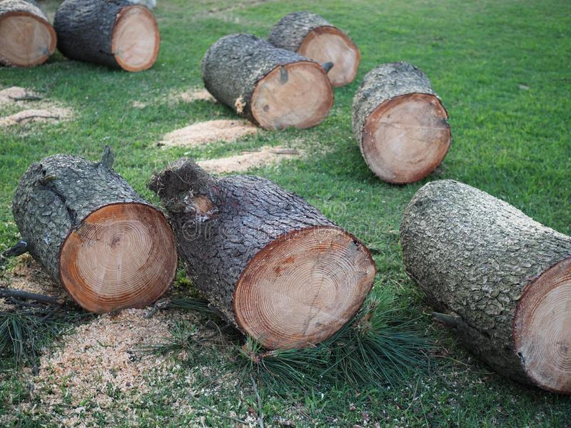 Several freshly sawed pine trunks lie on the green grass.  royalty free stock photography