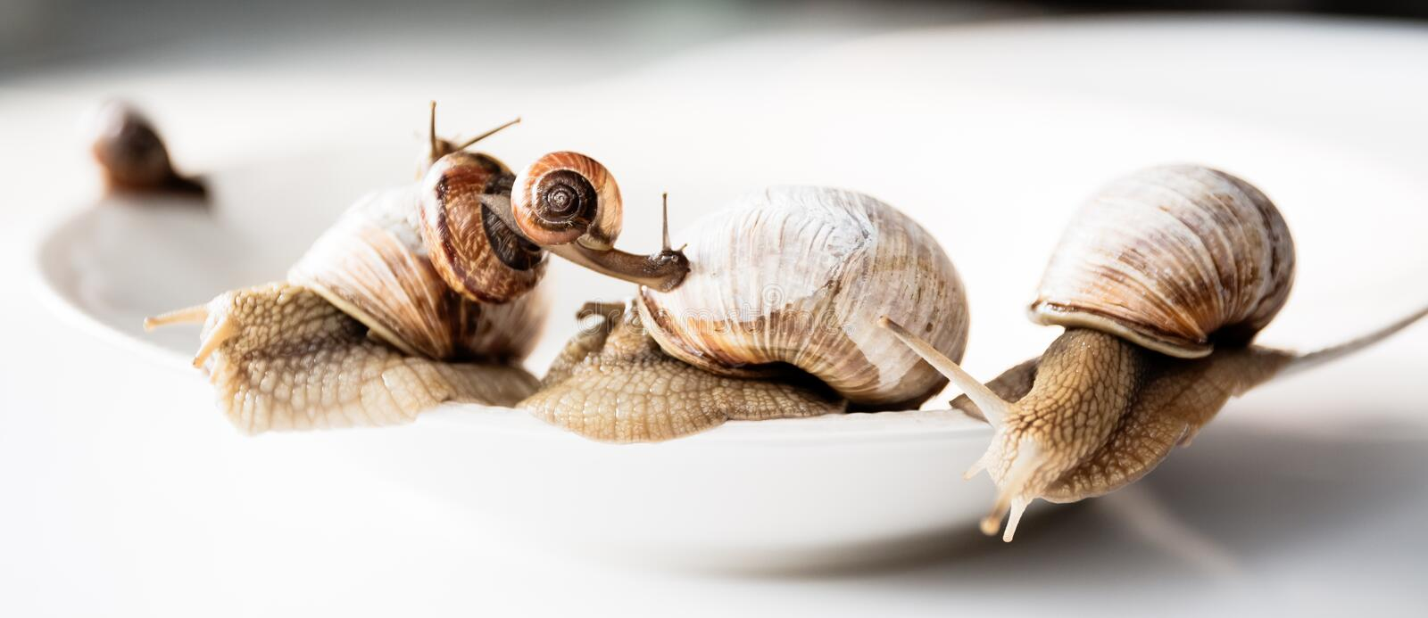 Garden snails isolated on white background. Several garden snails isolated on white background, gourmet living delicacies stock photography
