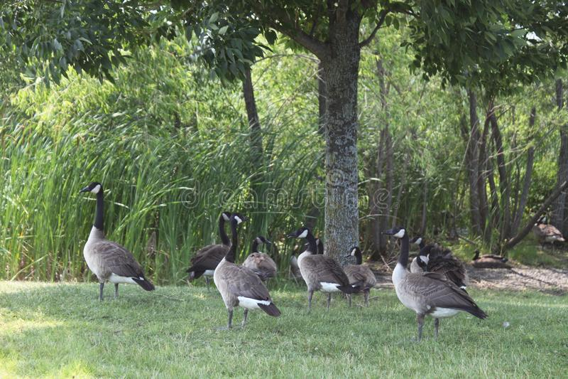 Several geese on a summer day on the grass stock photography