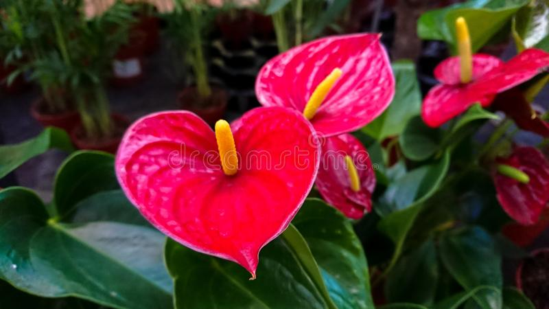 Several heart-shaped flowers of Red Anthurium stock photos